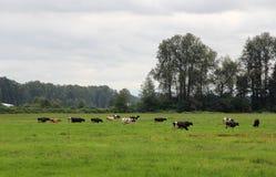 在Pature的母牛 免版税库存照片