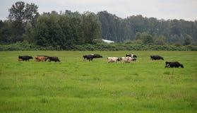 在Pature的母牛 免版税库存图片