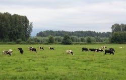 在Pature的母牛 免版税图库摄影