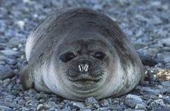 在Pebble海滩关闭的南极洲南乔治亚岛Weddell封印 免版税库存照片