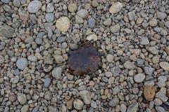 在Pebble海滩的水母 免版税库存照片