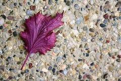 在Pebbled地面的紫色叶子 库存照片