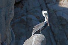 在Pelikan岩石的被日光照射了鹈鹕在Los卡约埃尔考斯在Cabo圣卢卡斯巴哈墨西哥 免版税库存图片