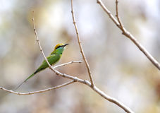 在Pench老虎储备的绿色食蜂鸟 库存照片