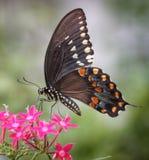 在Pentas的黑Swallowtail蝴蝶花蜜 免版税图库摄影