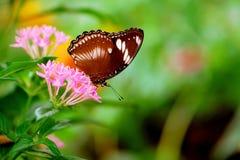 在pentas lanceolata的伟大的蛋蝇蝴蝶开花 库存图片