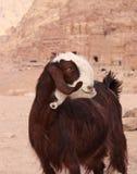 在Petra的异常的山羊 库存照片