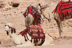 在Petra的骆驼,约旦 库存照片