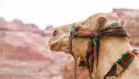 在Petra的骆驼画象,约旦 免版税库存照片