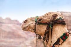 在Petra的骆驼画象,约旦 免版税图库摄影