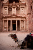 在Petra的骆驼 库存照片