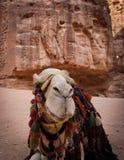 在Petra的骆驼 免版税库存照片