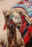 在Petra (约旦)的松弛骆驼 免版税库存照片