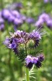 在phacelia开花的蜂蜜蜂 免版税库存照片