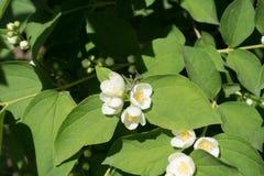 在Philadelphus coronarius leafage的小花  免版税图库摄影