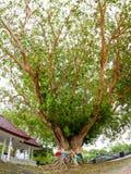在Phromthep海角普吉岛泰国的大Bodhi树 库存图片