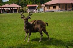在Phu Kradueng国民的野生鹿 库存图片