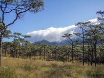 在phu soi dao国家公园,泰国程逸的杉树 库存图片