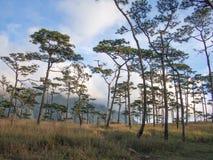 在phu soi dao国家公园,泰国程逸的杉树 免版税库存照片