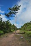 在Phukradueng的偏僻的杉树 免版税库存图片