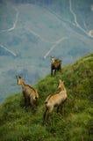 在Piatra Craiului的羚羊 库存图片
