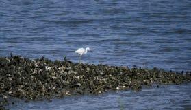 在Pickney海岛全国野生生物保护区,美国的未成熟的白色小的蓝色苍鹭 图库摄影