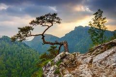 在Pieniny山的Sokolica峰顶与一棵著名杉木,波兰 库存照片