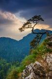 在Pieniny山的Sokolica峰顶与一棵著名杉木 库存照片