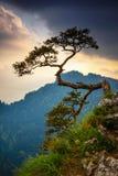 在Pieniny山的Sokolica峰顶与在上面的一棵著名杉木 库存图片