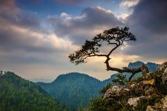 在Pieniny山的Sokolica峰顶与在上面的一棵著名杉木 免版税库存照片