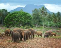 在pinawela斯里兰卡的大象 免版税库存照片