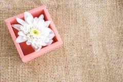 在pinkbox的白色菊花 免版税库存图片