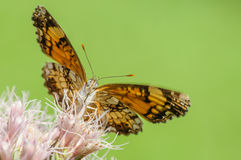 在PinkFlower的橙色和白色蝴蝶 免版税库存图片