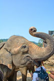 在Pinnawala大象孤儿院,斯里兰卡的大象 免版税图库摄影