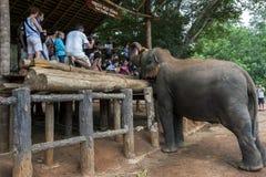 在Pinnawela大象孤儿院(Pinnewala)的一头大象在斯里兰卡等待由游人喂养 库存图片
