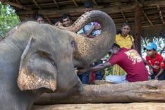 在Pinnawela大象孤儿院(Pinnewala)的一头大象是手哺养的果子由访客到公园 图库摄影