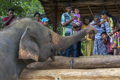 在Pinnawela大象孤儿院(Pinnewala)的一头大象是手哺养的果子由访客到公园 免版税库存照片