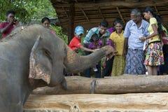 在Pinnawela大象孤儿院(Pinnewala)的一头大象是手哺养的果子由访客到公园 免版税库存图片