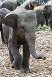 在Pinnewala大象孤儿院& x28的一头好奇幼小大象小牛; Pinnawela& x29;在斯里兰卡 免版税图库摄影