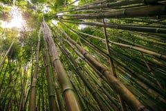 在Pipiwai足迹的竹子在Haleakala国家公园,夏威夷 库存图片