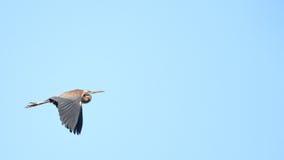 在Plaiaundi的紫色苍鹭Ardea purpurea 图库摄影