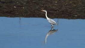 在Plaiaundi的Ardea灰质的灰色苍鹭 免版税库存照片