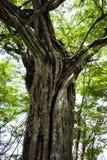 在Playa巴拿马的一棵Banyon树在瓜纳卡斯特省,哥斯达黎加 免版税库存照片