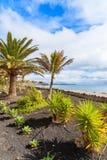 在Playa布朗卡沿海散步的热带棕榈树 免版税图库摄影