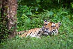 在playfull心情的孟加拉老虎 库存照片