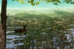 在Plitvice湖的鸭子 免版税库存图片