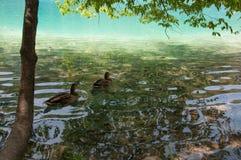 在Plitvice湖的鸭子 免版税库存照片