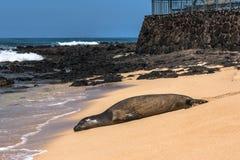 在Poipu海滩,考艾岛,夏威夷的封印 库存图片