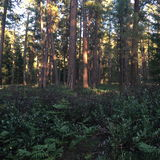 在Ponderosa树的晚上太阳 库存图片