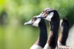 在Pondside的加拿大鹅 免版税库存照片